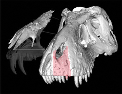 A rare piece of T.rex snout (shown in red on the right). It even had an errupting tooth!